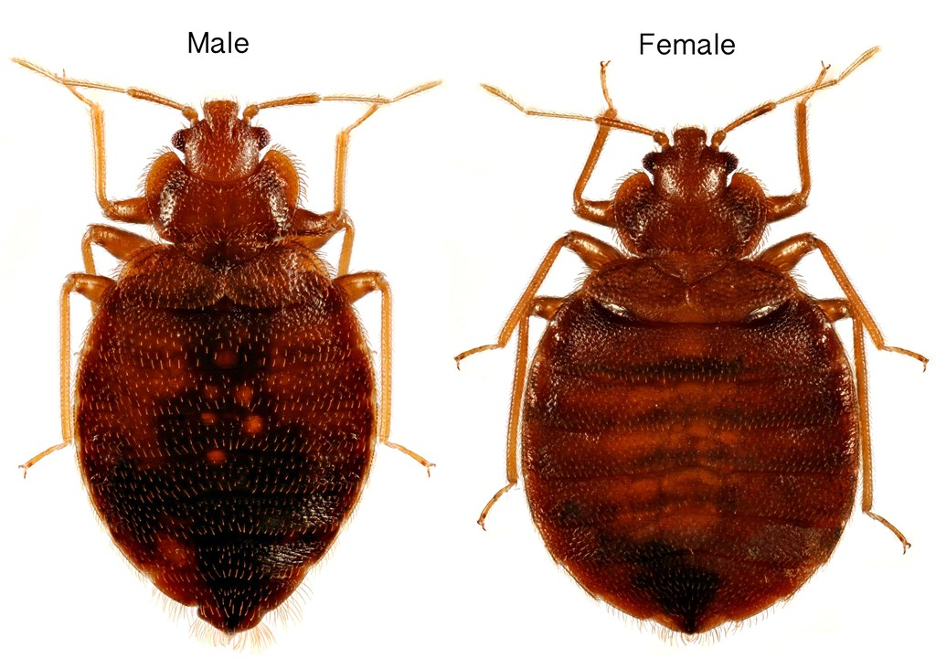 Killing Bed Bugs And Fleas