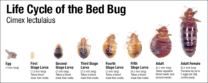 stages and life cycle of a bed bug bite blood hotel training certification room infestation